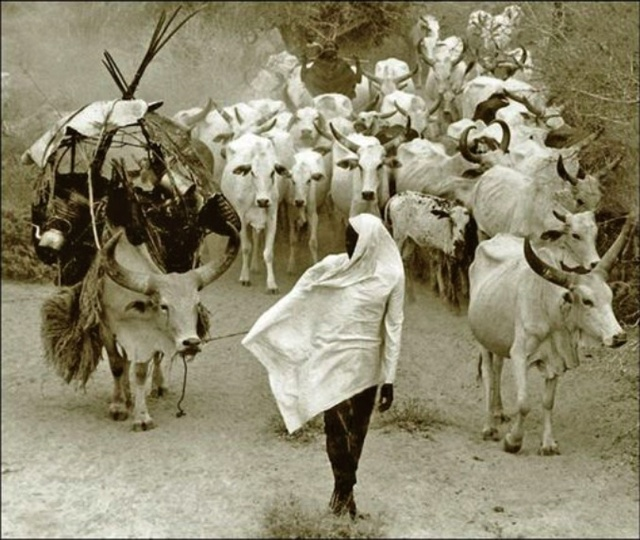 Mirella Ricciardi, 'Orma Cattle Caravan on the Move', ca. 1967, Photography, Silver Gelatin Print, Bernheimer Fine Art
