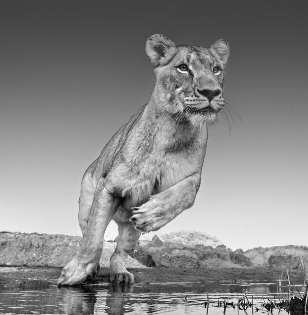 David Yarrow, 'Emma, Dinokeng, South Africa 2017', 2017, Holden Luntz Gallery