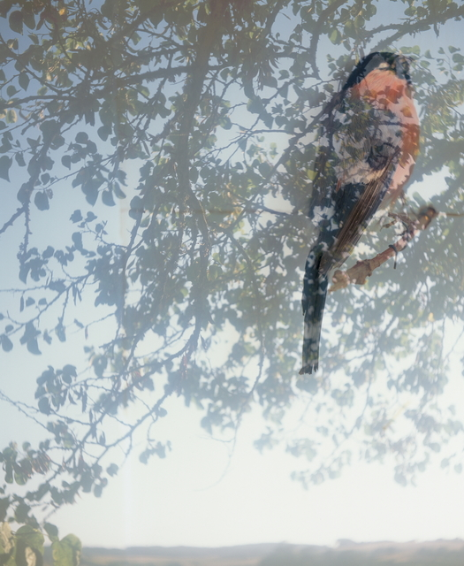 Lien Botha, 'Birds fragile like glass, Bullfinch', 2018, Barnard