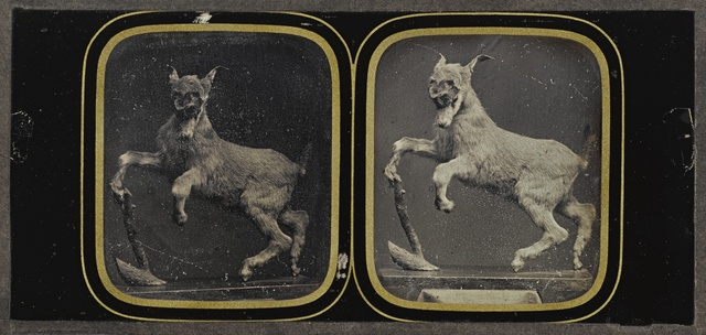 Attributed To Louis Jules Duboscq, 'Taxidermy Goat Display', 1855, Sotheby's