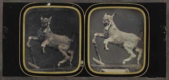 Taxidermy Goat Display