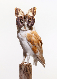 Owl with Buttefly