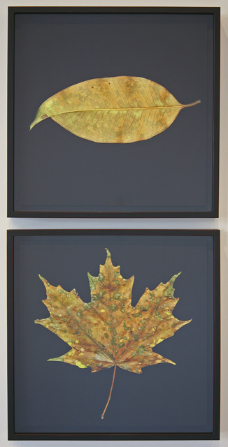 , 'Fall Diptych (Vermont Spotted Maple & Horizontal Singapore Leaf) ,' 2012, David Richard Gallery