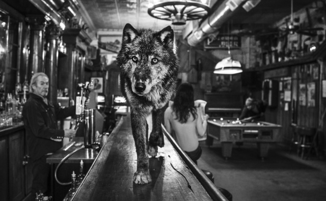 David Yarrow, 'The Wolf Of Main St II', 2015, Hilton Asmus