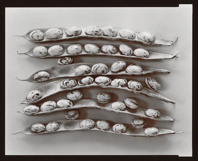 Olivia Parker, 'Shell Beans', 1979, Photography, Selenium Toned Silver Contact, Robert Klein Gallery