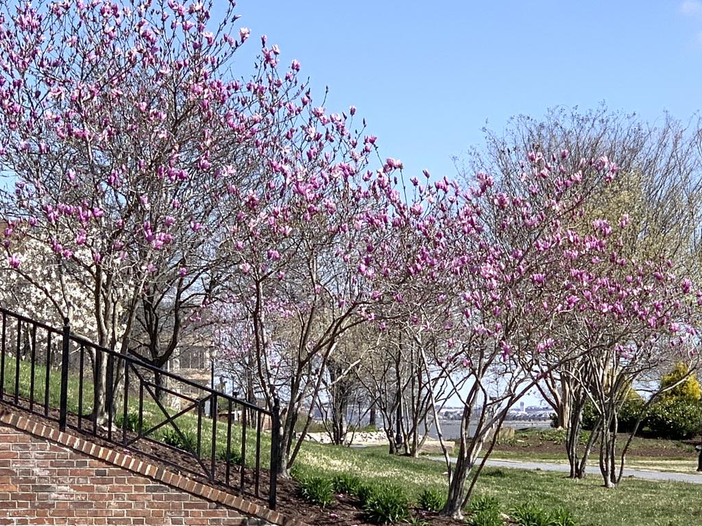 Magnolias along the Potomac River, April 2019