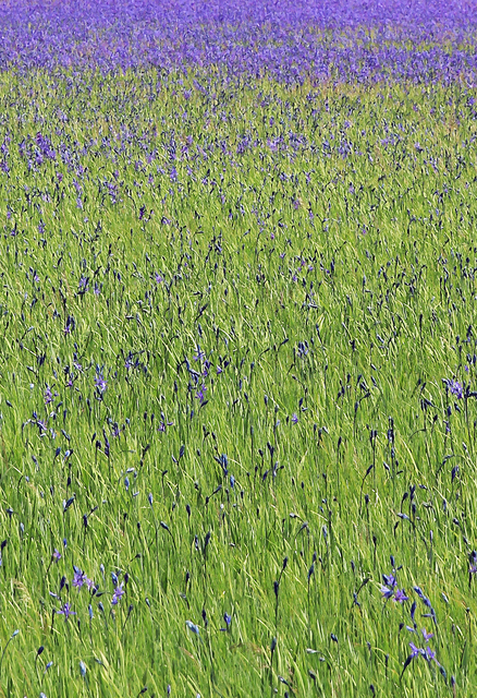 Larry Garmezy, 'Wild Irises - Wildflower photography, Yellowstone National Park, floral, impressionist, in green and violet / purple', 2017, Archway Gallery