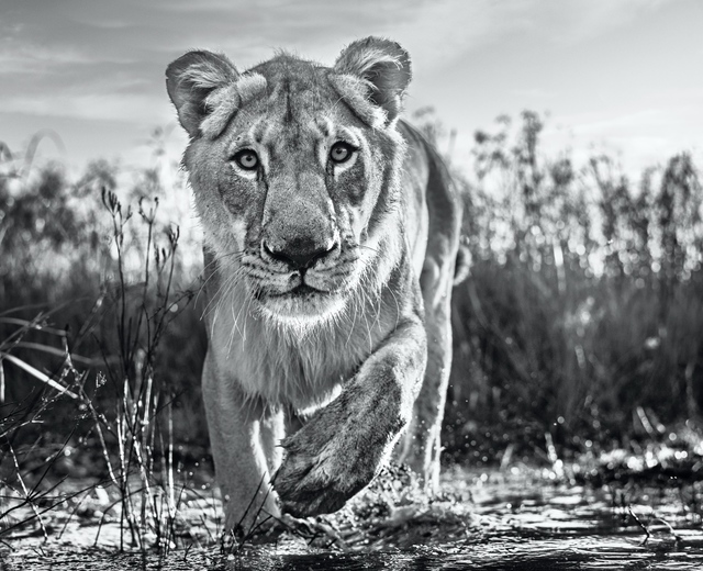 David Yarrow, 'Intent', 2020, Photography, Digital Pigment Print on Archival 315gsm Hahnemuhle Photo Rag Baryta Paper, Isabella Garrucho Fine Art