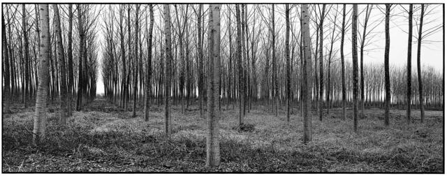 Frank Dituri, 'Rows of Trees, Tuscany, Italy', 1999, C. Grimaldis Gallery
