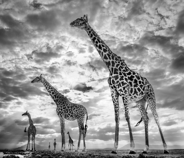 David Yarrow, 'Keeping Up With The Crouches', 2019, Isabella Garrucho Fine Art