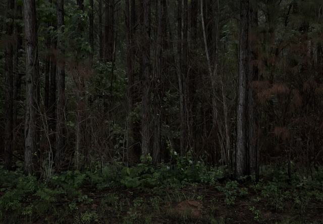 , 'Southern Pine Forest. Following El Camino Real, LaSalle Parish, Louisiana,' 2014, PDNB Gallery