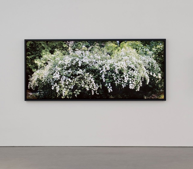 , 'Spirea prunifolia, Bridal Wreath with Effects of Sunlight,' 2014, Division Gallery