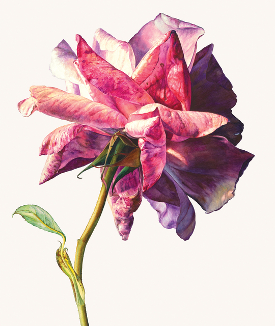 , 'Sue's rose,' , Jonathan Cooper