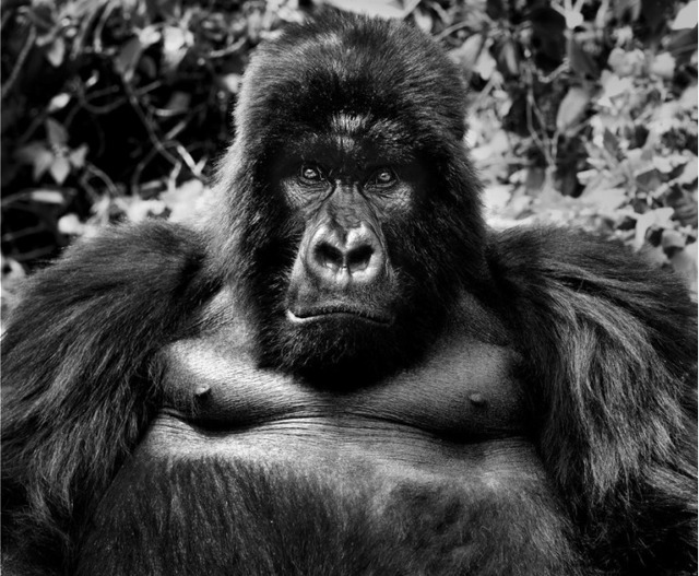 David Yarrow, 'King Kong', Photography, Archival ink on paper, Fineart Oslo