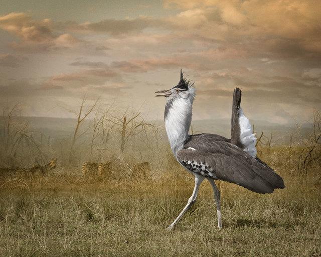 Cheryl Medow, 'Kori Bustard And Zebras', 2009, Photography, Archival pigment print, PDNB Gallery
