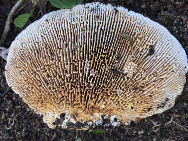Onajide Shabaka, 'Mushroom gills ', 2017, Emerson Dorsch