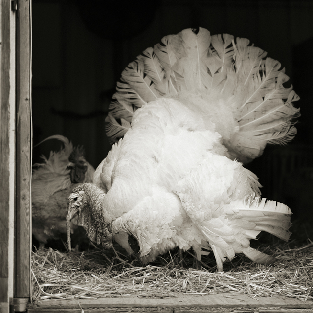 , 'Tom, Broad Breasted White Turkey, I,' 2019, Richard Levy Gallery