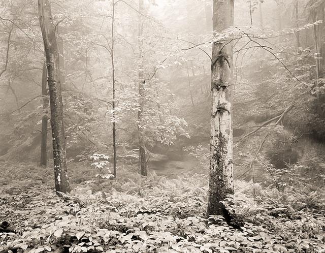 Frank Hunter, 'Beech Tree, Cedar Falls (#276)', Thomas Deans Fine Art