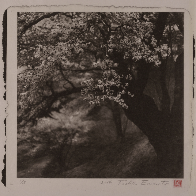 , 'Large Wild Cherry tree at Nitta, Fukushima,' 2014, Micheko Galerie