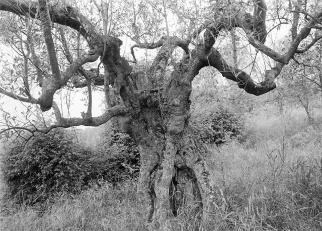 , 'Tuscan Trees #2,' 1996, Wirtz Art
