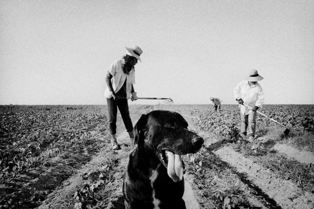 , 'Weeding cotton. Allensworth, California.,' 2001, Anastasia Photo
