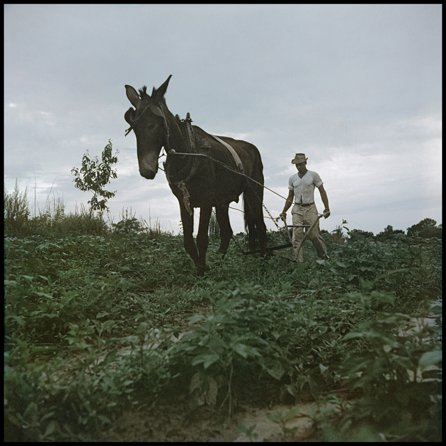 Gordon Parks, 'Willie Causey, Mobile, Alabama (Mule Plowing 37.051)', 1956, Photography, Archival digital pigment print, Robert Klein Gallery