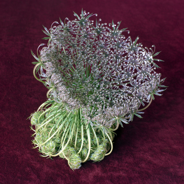 , 'Wild Flower Arrangement No. 1 (Daucus Carota),' 2015, KLOMPCHING GALLERY
