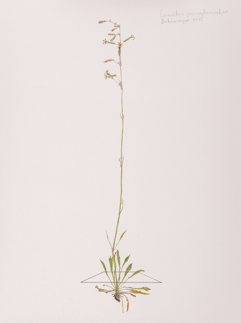 , 'Silene chlorantha,' 2016, H.L.A.M.
