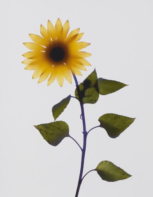 Adam Fuss, 'Untitled (sunflower)', 1998, Photography, Unique cibachrome photogram on paper under glass, John Moran Auctioneers