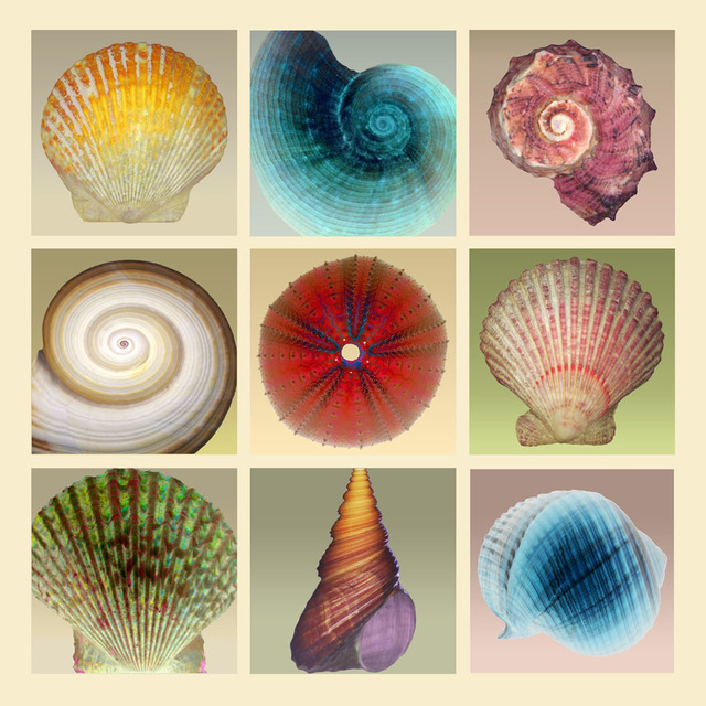 , 'Sea Shell Compositions,' 2015, Florida Fine Art