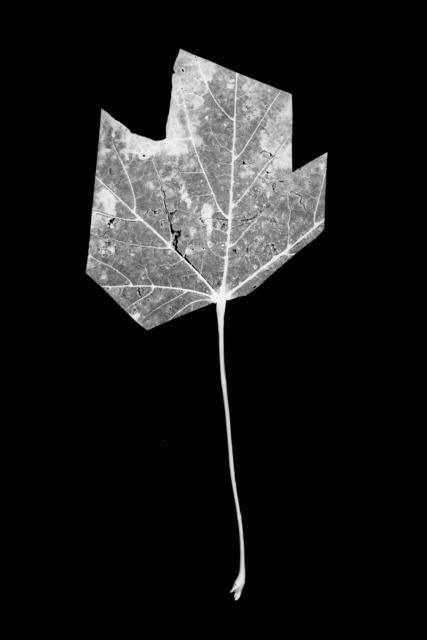 , 'Leaf-cut 03,' 2016, Grundemark Nilsson Gallery