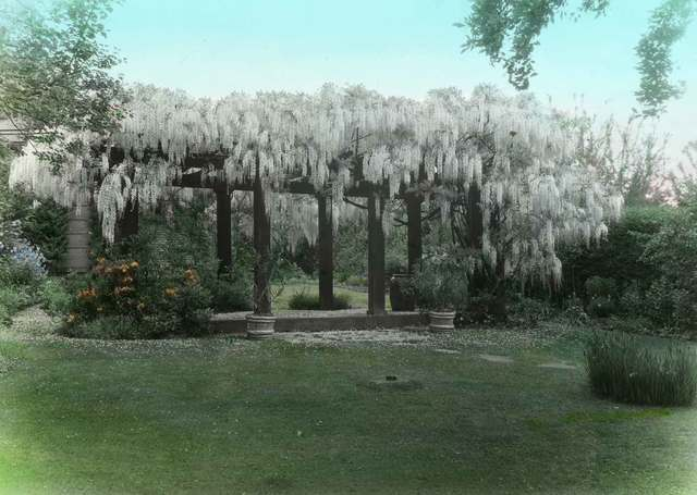 , 'Wisteria, Dr. and Mrs. Otis B. Wright City Garden; Box 1, Slide No. 19 ,' 1920-1935, Newspace Center for Photography