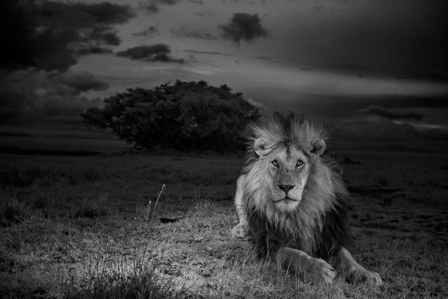 ", 'For our two-year lion project, we centered our work around the females of the Vumbi (""dust"" in Swahili) pride, raising cubs in the difficult feast and famine of the Serengeti plains. We also focused on this black-maned male, one of two resident coalition males. The researchers called him C-Boy. Image made with invisible infrared light. Serengeti National Park, Tanzania.,' 2012, Anastasia Photo"