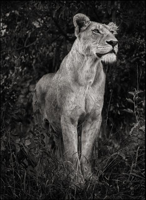 , 'Lioness Against Dark Foliage, Serengeti,' 2012, Atlas Gallery