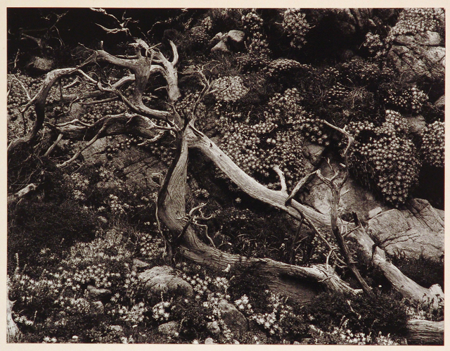 Brett Weston, 'Tree Roots with Succulents, Point Lobos', 1952, Etherton Gallery