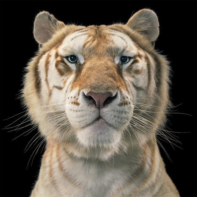 , 'Golden Tabby Tiger,' ca. 2010, Opiom Gallery