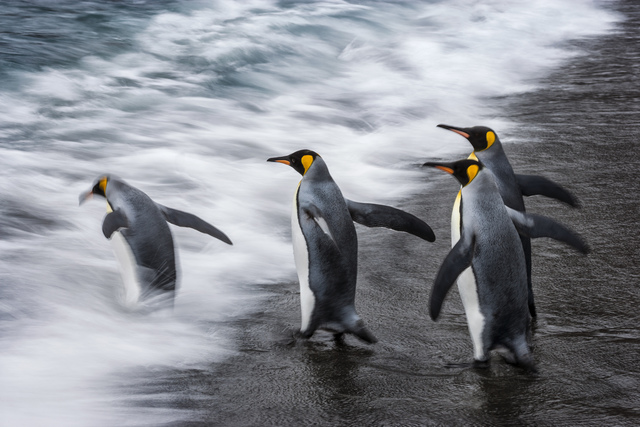 , 'King Rush,' , Paul Nicklen Gallery