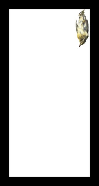 , 'Baybreasted Warbler,' 2017, Corkin Gallery