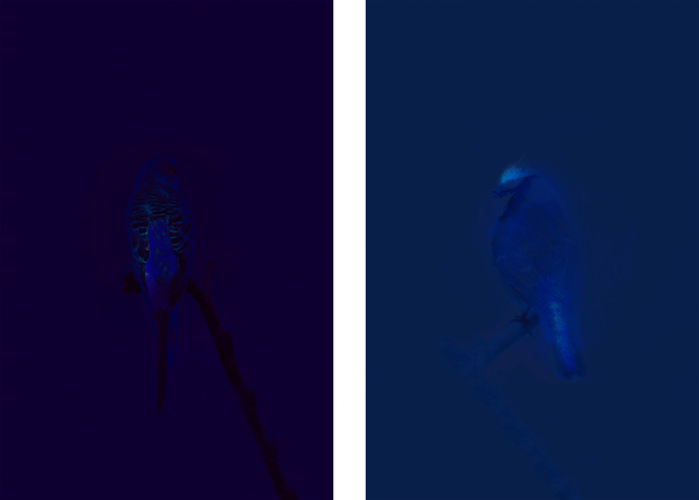 , 'Budgie/UV, Blue Tit/UV,' 2012, Mizuma Art Gallery