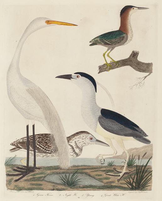 John G. Warnicke after Alexander Wilson, 'Green Heron, Night Heron, Young Heron, and Great White Heron', published 1808-1814, National Gallery of Art, Washington, D.C.