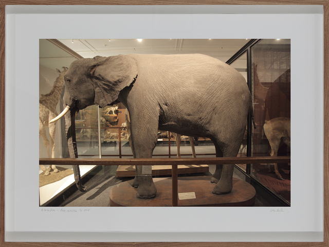 , 'Loxodanta Africana, South African Museum, Cape Town,' 2009, Barnard Gallery