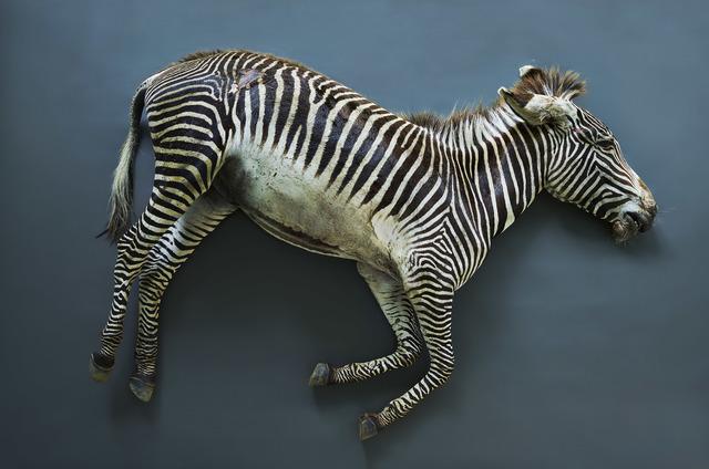 , 'Zebra (Equus grevyi), Leibniz IZW, Berlin 2017,' , Galerie Greta Meert