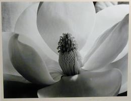 Imogen Cunningham, 'Magnolia Blossom', 1925, Weston Gallery