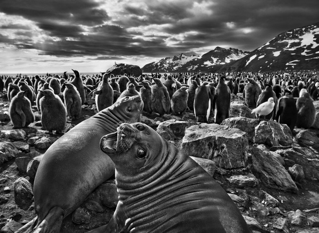 , 'SOUTHERN ELEPHANT SEAL CALVES, SAINT ANDREW'S BAY, SOUTH GEORGIA,' 2009, Huxley-Parlour