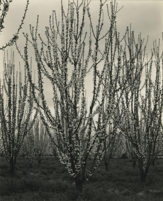 , 'Apple Blossoms,' 1937, Lee Gallery