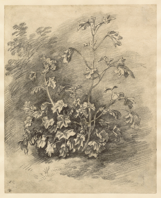 , 'Study of Mallows,' Mid-to late 1750s, Clark Art Institute