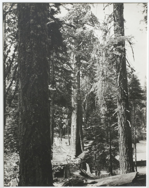 , 'Redwood Trees,' ca. 1941, Francis M. Naumann Fine Art