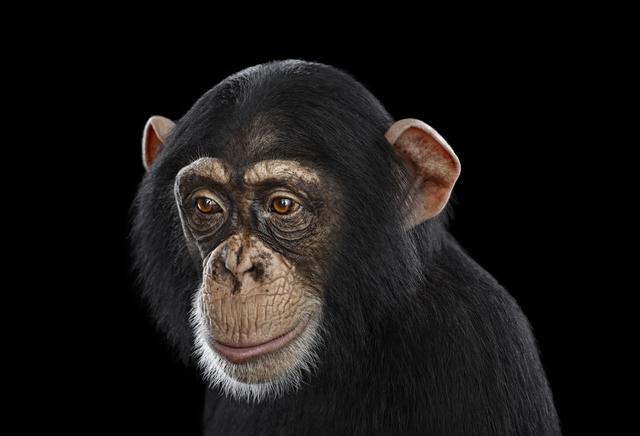 Brad Wilson, 'Chimpanzee #12, Los Angeles, CA', 2010, photo-eye Gallery
