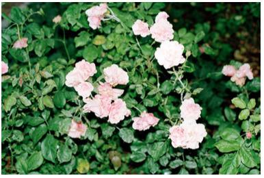 , 'Roses,' , Galerie Kandlhofer