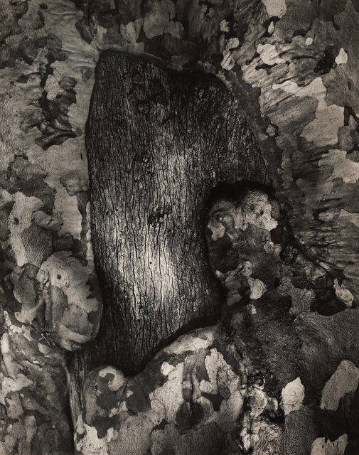 , 'Sycamore Tree Scar,' 1971, Seagrave Gallery